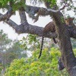 Wild Leopard at Yala National Park